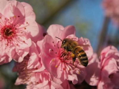 20130811_1550_0328 plum blossom bee
