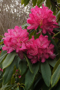 20130822_1536_10021 rhododendron