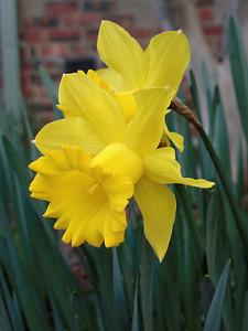 20130815_1459_0203 daffodils