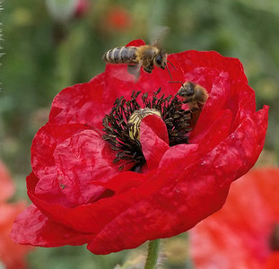 20131130_0827_0546 bees and poppy