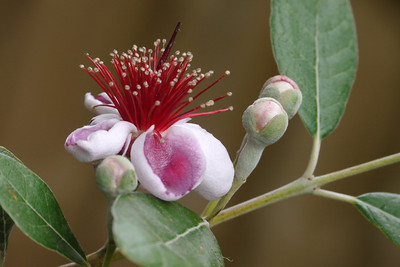 20131112_0845_12806 pineapple guava