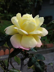 20130513_1252_0405 rose (Gower Street, Kensington)