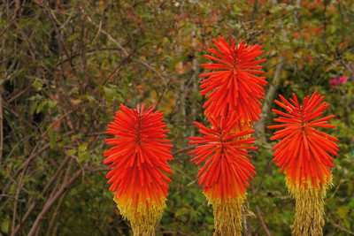20140621_1037_6868 red hot poker