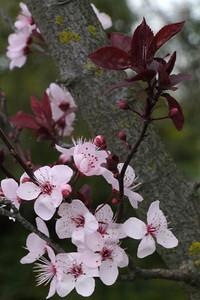 20130822_1600_10059 plum blossom