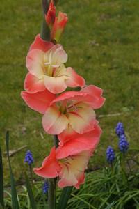 20130822_1611_10067 gladiolus
