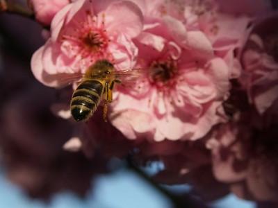 20130811_1544_0305 plum blossom bee