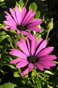 20130816_9884 african daisies