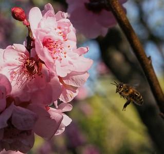 20130911_1525_0197 plum blossom bee
