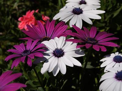 20130831_1200_0159 african daisy