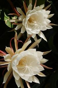 20151228_0731_2492 epiphyllum 昙花一现 (tanhua yixian)